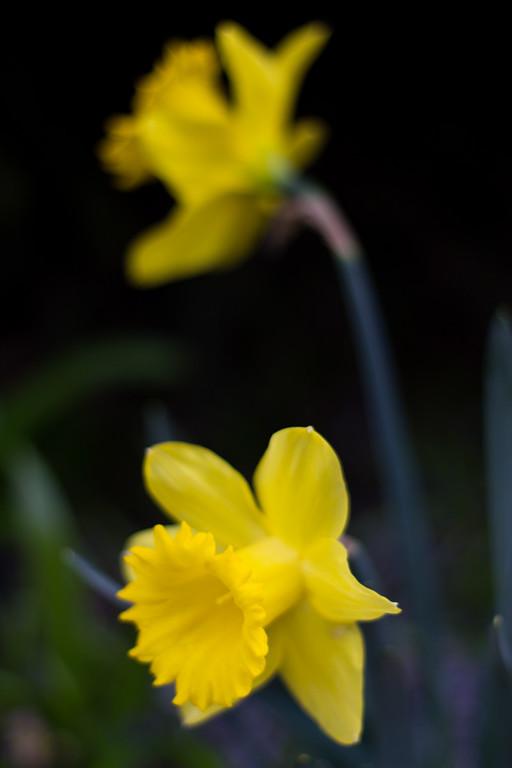 A Little Daffodil